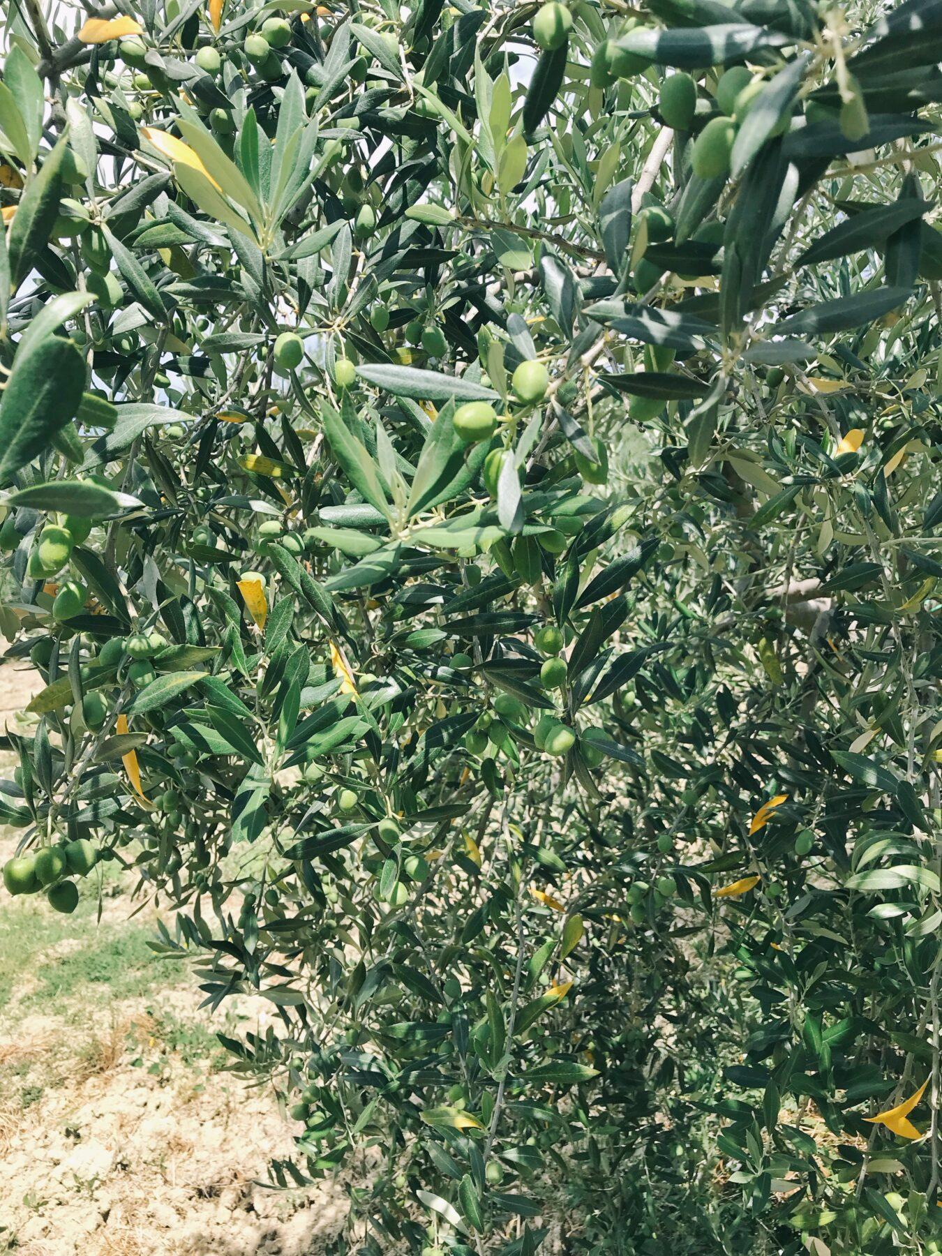 olives ascolane